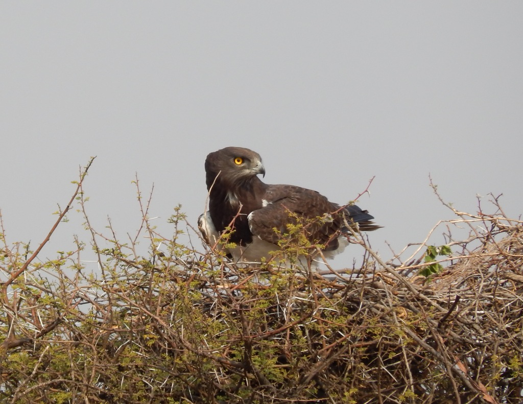 Henrietta, the female Black-Chested Snake Eagle at the 2014 nest