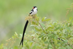 Pin-tailed Whydah male (50)