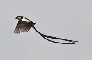 Pin-tailed Whydah male in flight (50)