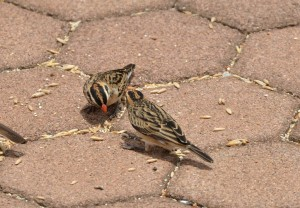 Two Pin-tailed Whydah females (50)