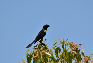 White-winged Widowbird (Wirvlerkflap) (62)
