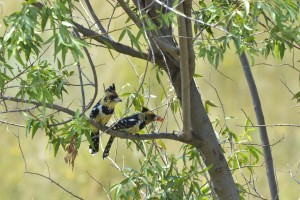 Mr and Mrs Crested Barbet