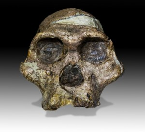 """The skull of """"Mrs. Ples"""" (Plesianthropus transvaalensis), found as a direct result of calcite mining at the Sterkfontein Cave (Photo courtesy Wikipedia)"""