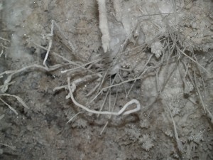 These helictites, growing from a crystal-encrusted wall in Wind Gat Cave, demonstrate that gravity has no role to play in the direction in which they grow