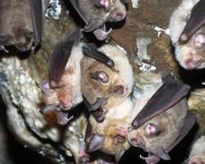 Geoffroy's Horseshoe Bat